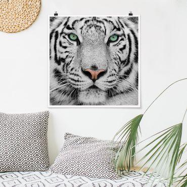 Poster - Weißer Tiger - Quadrat 1:1