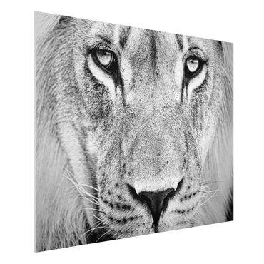 Forexbild - Alter Löwe