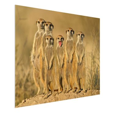 Forexbild - Meerkat Family