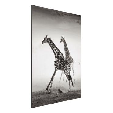 Alu-Dibond Bild - Giraffenjagd