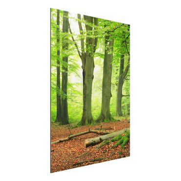 Alu-Dibond Bild - Mighty Beech Trees