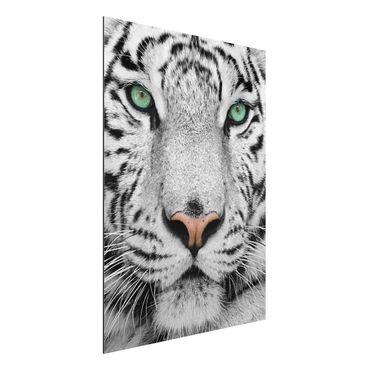 Alu-Dibond Bild - Weißer Tiger