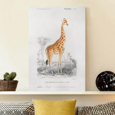 Leinwandbild - Vintage Lehrtafel Giraffe - Hochformat 3:2