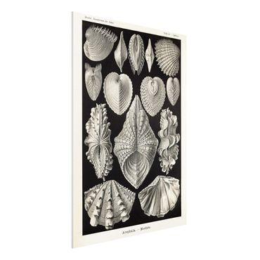 Forex Fine Art Print - Vintage Lehrtafel Muscheln II - Hochformat 4:3