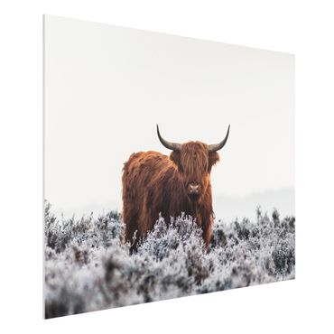 Forex Fine Art Print - Bison in den Highlands - Querformat 3:4
