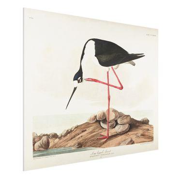 Forex Fine Art Print - Vintage Lehrtafel Langbeiniger Säbelschnäbler - Querformat 3:4