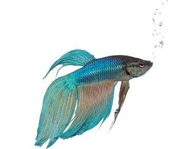 Fensterfolie - Fenstersticker No.353 Blue Siamese fighting fish - Fensterbilder