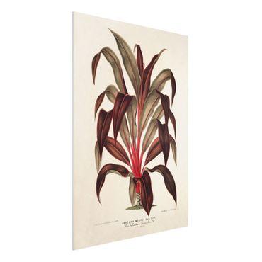 Forex Fine Art Print - Botanik Vintage Illustration Drachenbaum - Hochformat 4:3