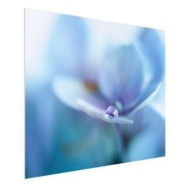 Forex Fine Art Print - Wassertropfen Hortensienblüte - Querformat 3:4