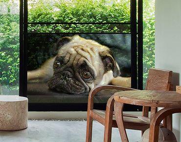 Fensterfolie - Sichtschutz Fenster Nachdenklicher Mops - Fensterbilder