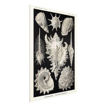 Forex Fine Art Print - Vintage Lehrtafel Muscheln I - Hochformat 4:3