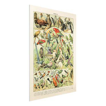 Forex Fine Art Print - Vintage Lehrtafel Vögel - Hochformat 4:3