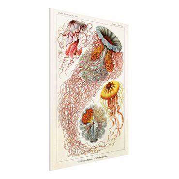 Forex Fine Art Print - Vintage Lehrtafel Quallen - Hochformat 4:3