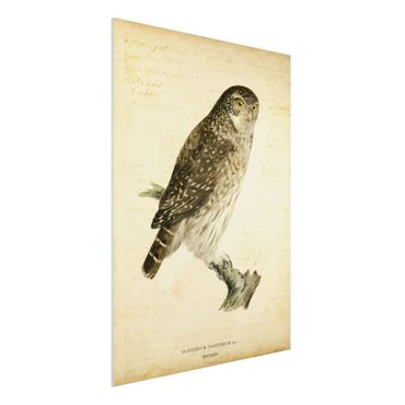 Forex Fine Art Print - Vintage Zeichnung Sperlingskauz - Hochformat 4:3