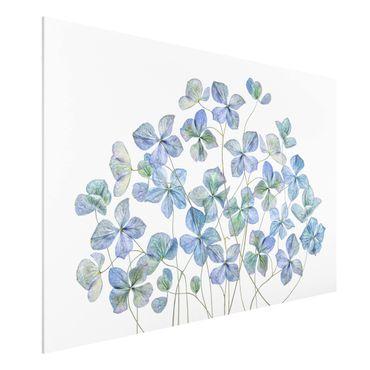 Forex Fine Art Print - Blaue Hortensienblüten - Querformat 2:3