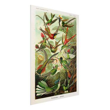 Forex Fine Art Print - Vintage Lehrtafel Kolibris - Hochformat 4:3