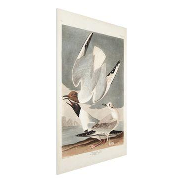 Forex Fine Art Print - Vintage Lehrtafel Bonaparte Möwe - Hochformat 3:2