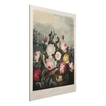 Aluminium Print gebürstet - Botanik Vintage Illustration Rosen - Hochformat 4:3