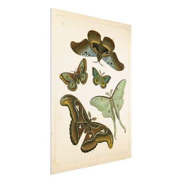 Forex Fine Art Print - Vintage Illustration Exotische Schmetterlinge II - Hochformat 4:3
