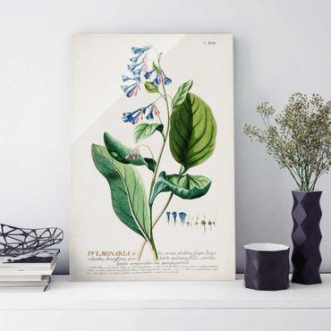 Glasbild - Vintage Botanik Illustration Lungenkraut - Hochformat 3:2