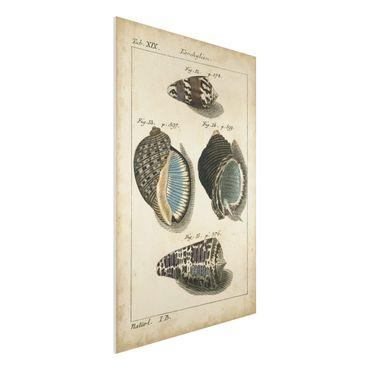 Forex Fine Art Print - Vintage Muschel Zeichnung Braun - Hochformat 3:2