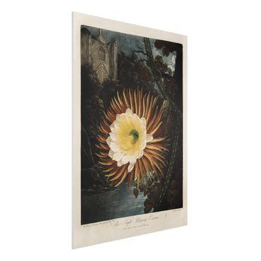 Forex Fine Art Print - Botanik Vintage Illustration Kaktusblüte - Hochformat 4:3
