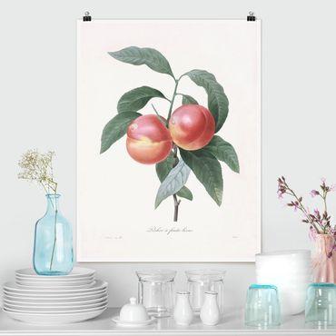 Poster - Botanik Vintage Illustration Pfirsich - Hochformat 4:3