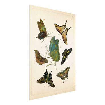 Forex Fine Art Print - Vintage Illustration Exotische Schmetterlinge - Hochformat 4:3