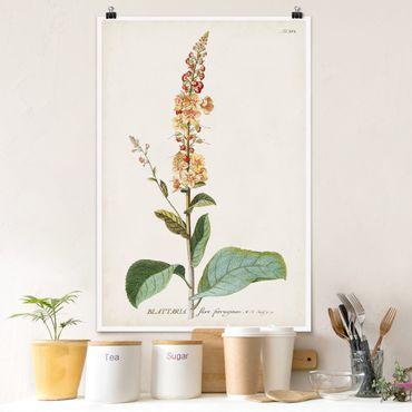 Poster - Vintage Botanik Illustration Königskerze - Hochformat 3:2