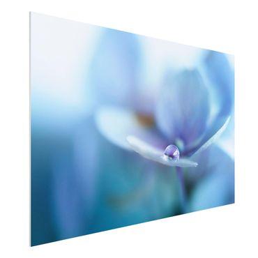 Forex Fine Art Print - Wassertropfen Hortensienblüte - Querformat 2:3