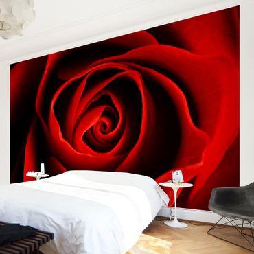 Fototapete Liebliche Rose