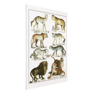 Forex Fine Art Print - Vintage Lehrtafel Löwe, Tiger und Schakal - Hochformat 4:3