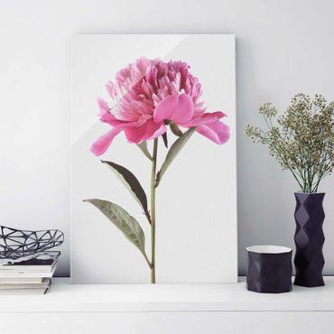 Glasbild - Blühende Pfingstrose Pink auf Weiß - Hochformat 3:2