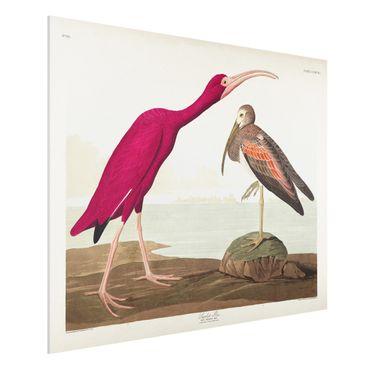 Forex Fine Art Print - Vintage Lehrtafel Roter Ibis - Querformat 3:4