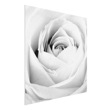 Forexbild - Close Up Rose