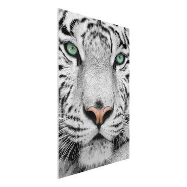 Forexbild - Weißer Tiger