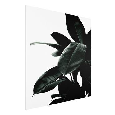 Forex Fine Art Print - Gummibaum Blätter Dunkelgrün - Quadrat 1:1