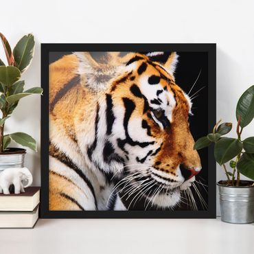Bild mit Rahmen - Tiger Schönheit - Quadrat 1:1