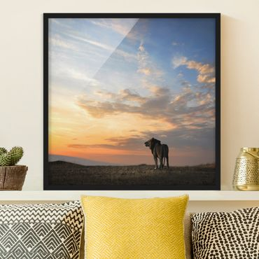 Bild mit Rahmen - Löwe im Sonnenuntergang - Quadrat 1:1