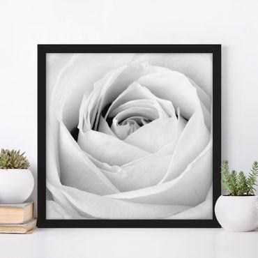 Bild mit Rahmen - Close Up Rose - Quadrat 1:1