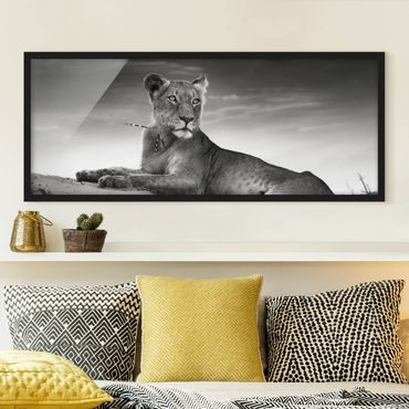 Bild mit Rahmen - Resting Lion - Panorama Querformat