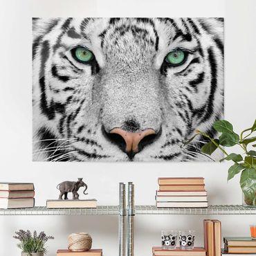 Glasbild - Weißer Tiger - Quer 4:3
