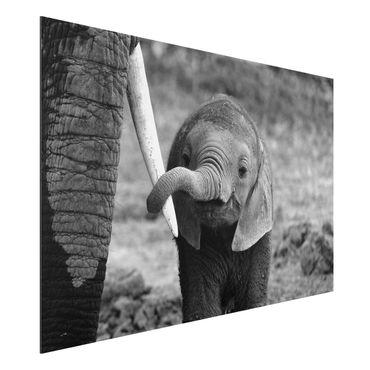 Alu-Dibond Bild - Elefantenbaby