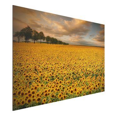 Alu-Dibond Bild - Feld mit Sonnenblumen