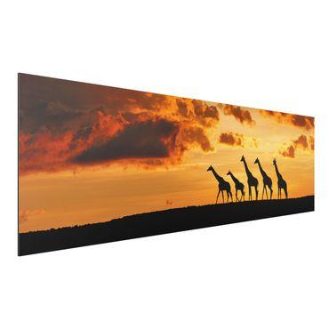Alu-Dibond Bild - Fünf Giraffen