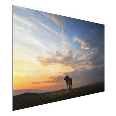 Alu-Dibond Bild - Löwe im Sonnenuntergang