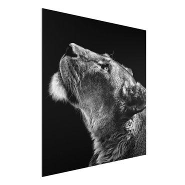 Aluminium Print - Portrait einer Löwin - Quadrat 1:1