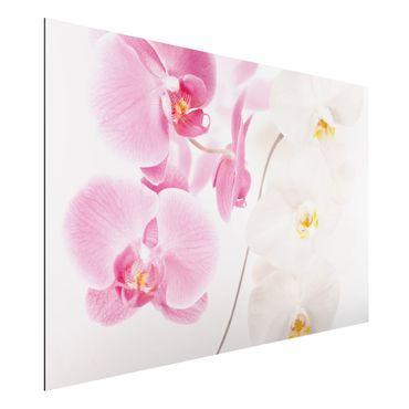Alu-Dibond Bild - Delicate Orchids