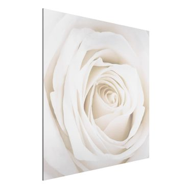 Alu-Dibond Bild - Pretty White Rose