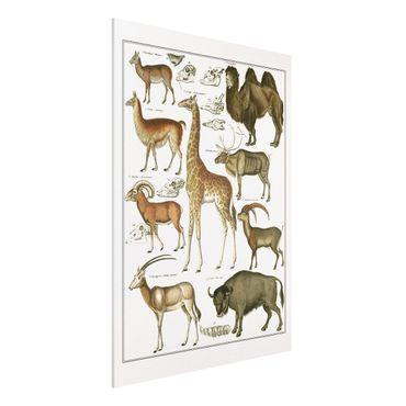 Forex Fine Art Print - Vintage Lehrtafel Giraffe, Kamel und Lama - Hochformat 4:3